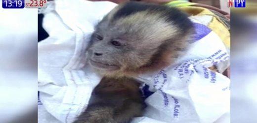 Capturan a mono travieso que robaba ropa interior de mujeres